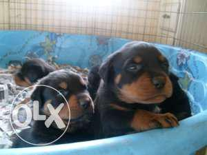 101%top quality rottwelier puppy and all breeds for sell...