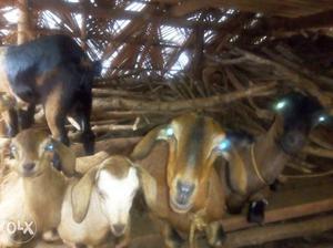 6 goat 3 big 3 small
