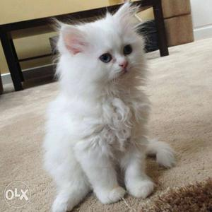 Best breed Persian cats and kittens very palyfull