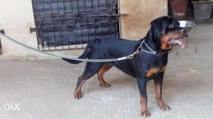 Chapion lineage haelthy Rottweiler Female Puppies(45 days)