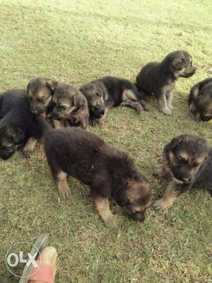 Gsd female puppies available. Call as soon as