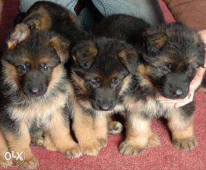Gsd full heavy and double coat puppies male and