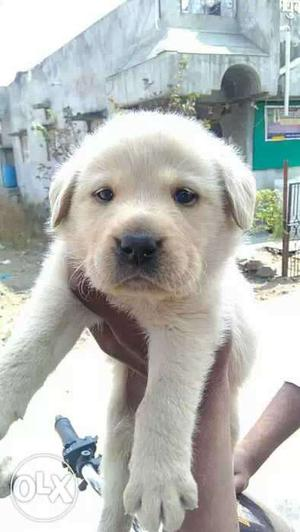 Labradore puppies available pure breed puppies