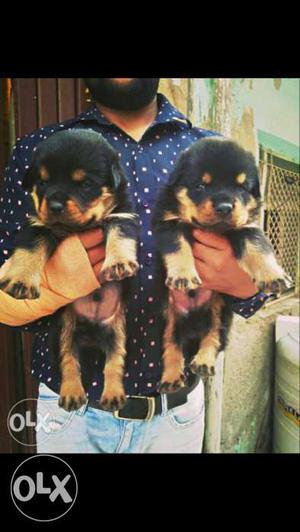 Male rottweiler puppy 35 days old pure breed 100%