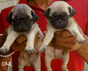 Prue breed pug male pup for sale very active pup