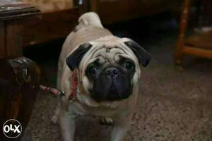 Pure high breed 2year male pug ready for mating