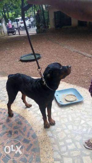 Roadwiller dog at kollam ayor