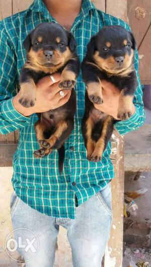 Rottweiler Female puppies sell in king pets all