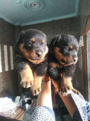 Rottweiler puppies available pure breed puppies