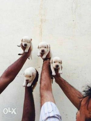 Superb quality Labrador in low price with best