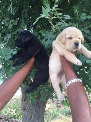 Top show quality Labrador puppies available at