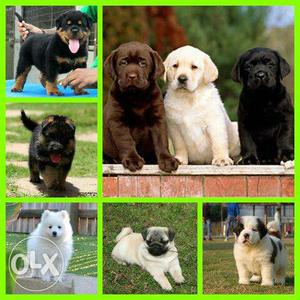 Ultimate Quality k Pure n Healthy puppies available here for