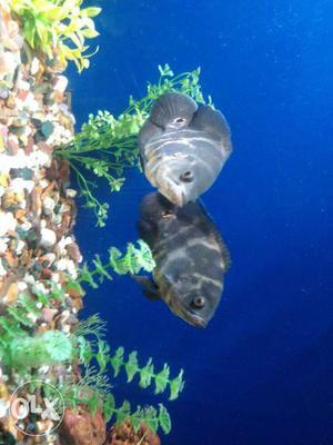 Ockar black two fishes