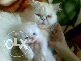 Import lineage Persian kittens available free home delivery