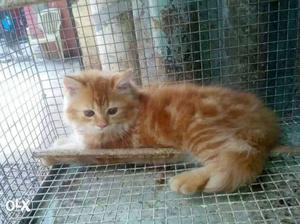 Its a male persian cat. very active