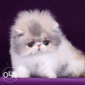 Its very friendly nature persian cat and kitten for sale.in