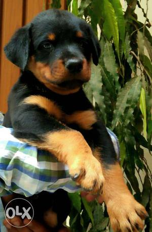 Rottweiler female pups available...