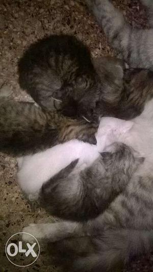 Full Persian dash color kittens available at