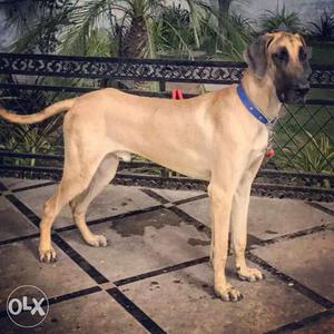 Male Great Dane 11 months old for sale..