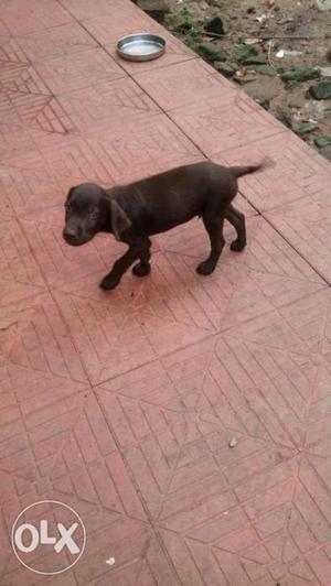 Orginal lab male puppy at thevalakara kollam
