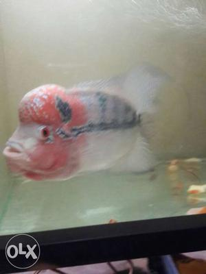 Red headed flower horn fish only at just rs
