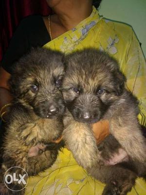 Show quality German Shepherd (GSD) Puppy's