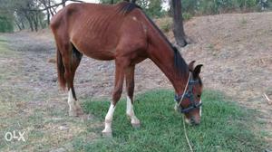 1 year old Sindhi panchkalyani male horse