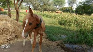 11 months old panchkalyani Kathi male