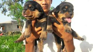 I6 Rottweiler male puppy price  fix 35 days old