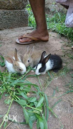 Naadan rabbit 2 months age..