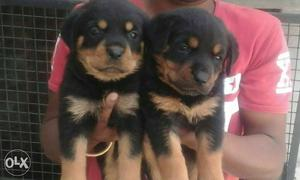 O6 Rottweiler puppy 35 days old pure breed heavy
