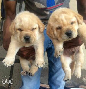 Show quality Labrador puppies available with us