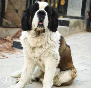 2 & 1/2 years old male st.bernard for sale. With