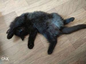 2 Persian cat for sale fresh black color black
