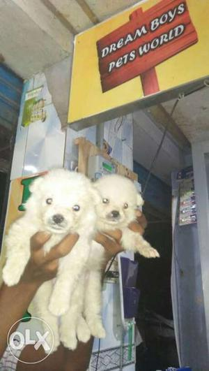 All breed puppies available in dream boys pets. 7