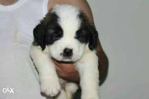 American LINE saint Bernard puppies ready to sale