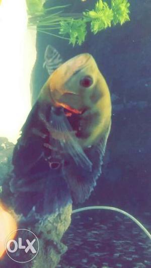 Black And Gray Fishtank Fish