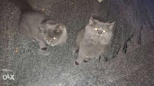 Doll face 4month old Persian cat very active and play full