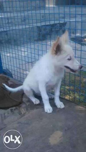 Female age 3 month white female puppy