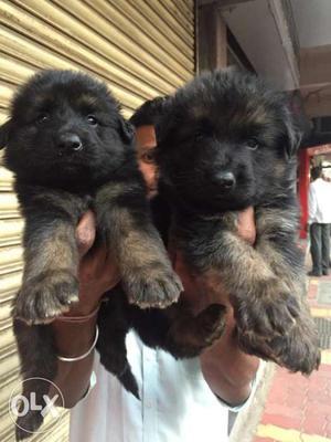 German Shepherd double coat female puppies sell