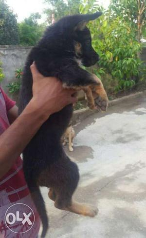 Heavy bone big size gsd female puppies available