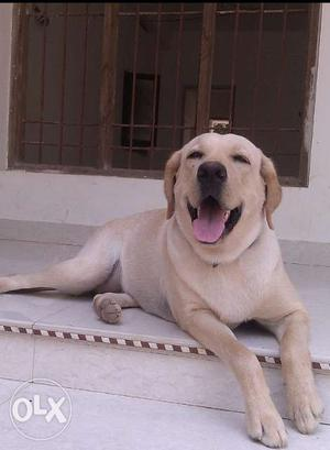 Labard dogs for sale. Good healthy dogs. Male and