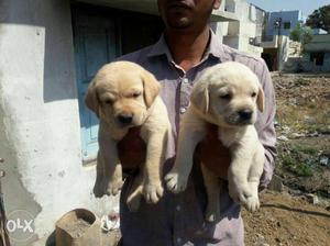 Labrador fawn colour puppies available top