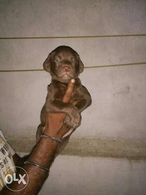 Labrador's chocolate colour puppies available all