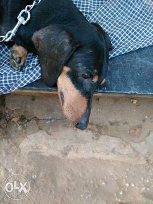 Male Dash hund Dog needed for Mating URGENT