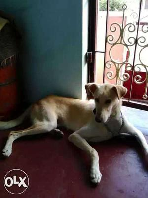 Mongrel breed hunter dog male ready for mating