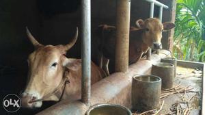 Naadan pashu 9 Months pregnant.. Inseminated