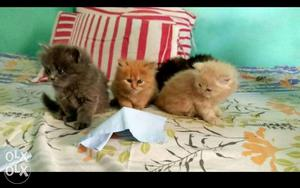 Persian Kittens available in all colors per