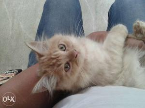 Persian cat kittens. 5 male kittens available