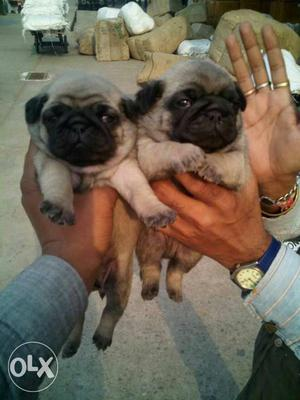 Pug female puppies available all breeds puppies